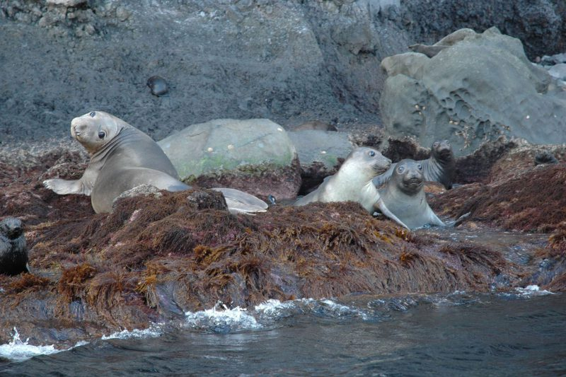 Ecotourism & Research Seals on Guadalupe Island