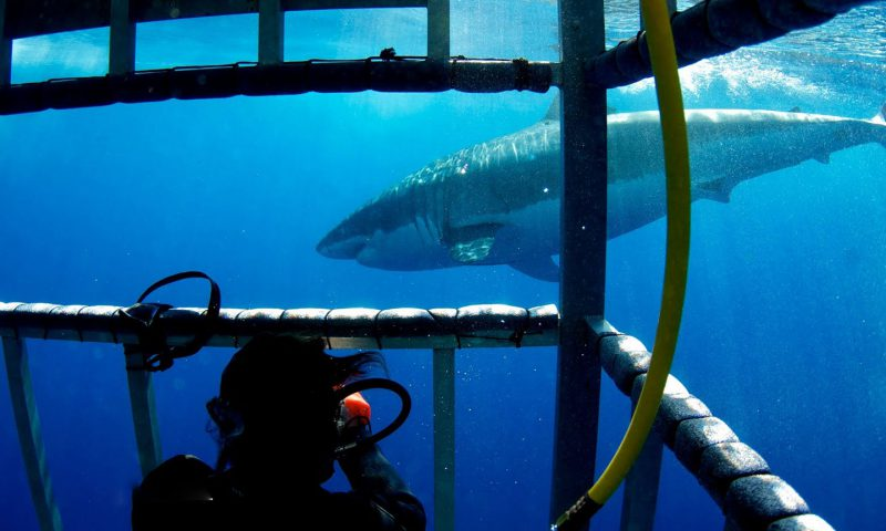 Inside the cage off of Guadalupe Island Great White Shark