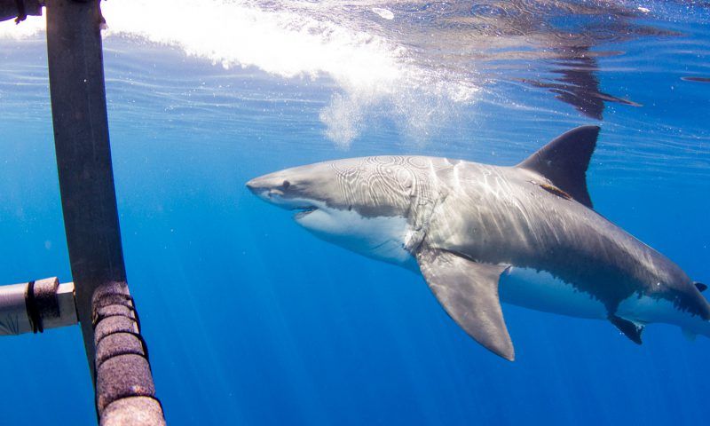 Great White Shark Diving view from within the cage off of Guadalupe Island