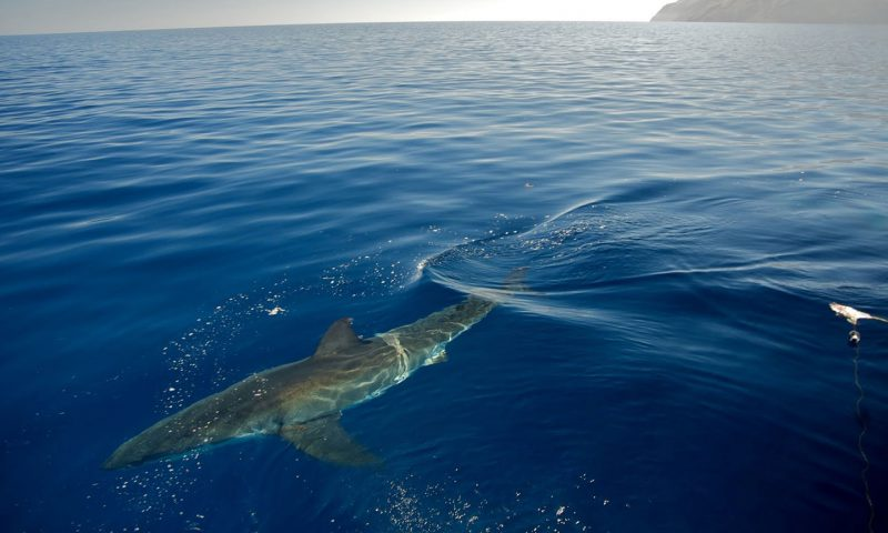 Great White Shark Guadalupe Island