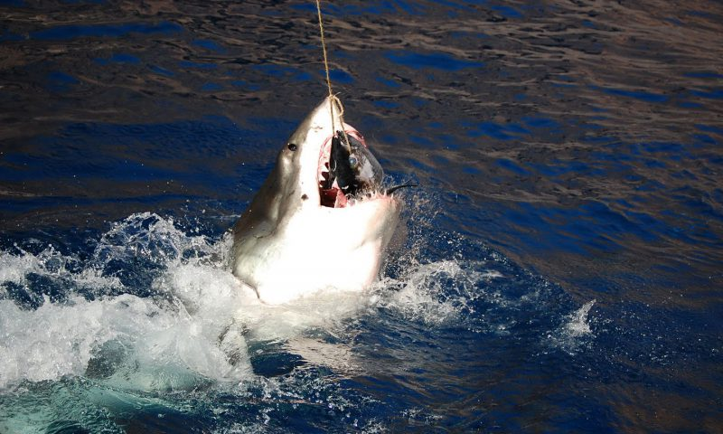 Great White Shark Breach off of Guadalupe Island